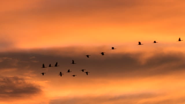 WS greater sandhill cranes (Grus canadensis) flying at sunrise with red sky background