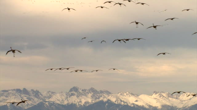 ms greater sandhill cranes flying in sky / monte vista, colorado, united states - bunter reiher stock-videos und b-roll-filmmaterial