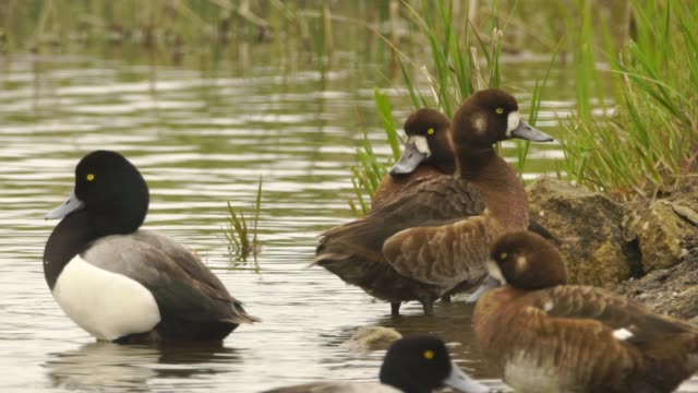 größere switp ente (aythya marila) kurilen-inseln - ente wasservogel stock-videos und b-roll-filmmaterial