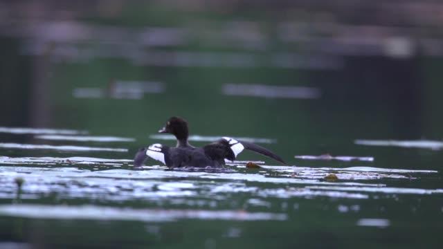 スズガモ (ハジロ属 marila) 水からの飛行を取る - 鳥 カモ点の映像素材/bロール