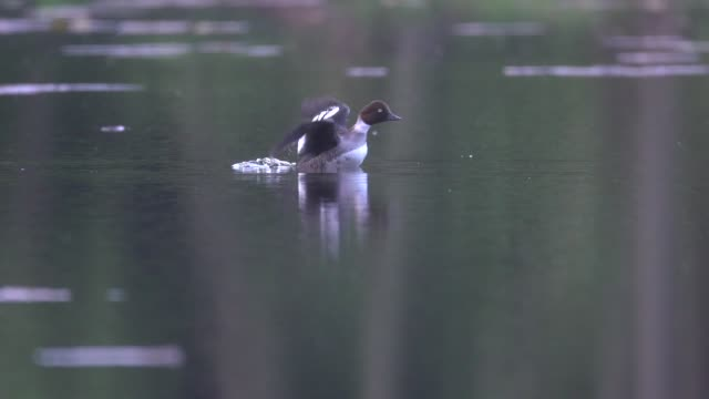greater scaup (aythya marila) takes flight from water - duck stock videos and b-roll footage