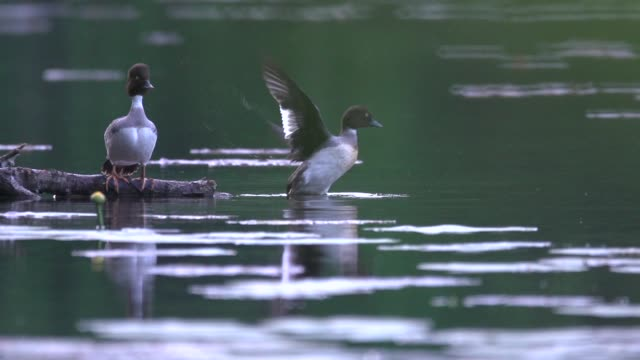 greater scaup (aythya marila) takes flight - anatra uccello acquatico video stock e b–roll