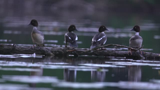 Greater scaups (Aythya marila) rest on fallen log in river