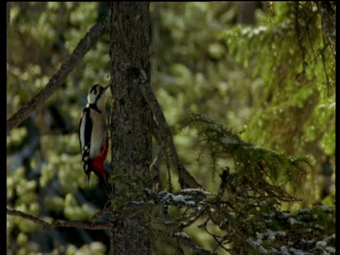 greater spotted woodpecker wipes beak on bark, scandinavia - perching stock videos & royalty-free footage