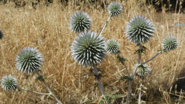 greece crete spiny green globe thistle and dry grass - thistle stock videos & royalty-free footage