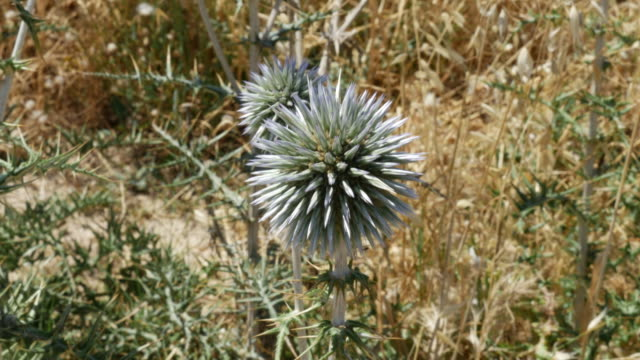 greece crete spiny roadside globe thistle - thistle stock videos & royalty-free footage