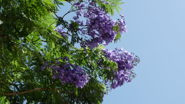 greece jacaranda tree in bloom - blossom stock videos & royalty-free footage