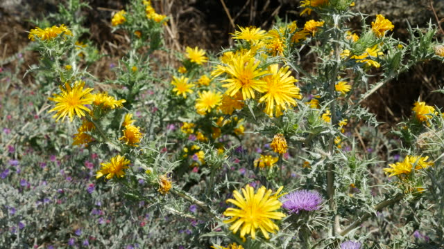 greece santorini yellow flowers - thistle stock videos & royalty-free footage