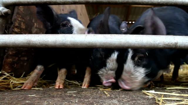 Habgierig empfinden, happy, der hungrig, niedlichen Schweine Tierfütterung