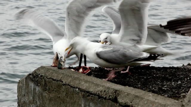 greedy seagulls eating fish gut by the sea - scavenging stock videos & royalty-free footage