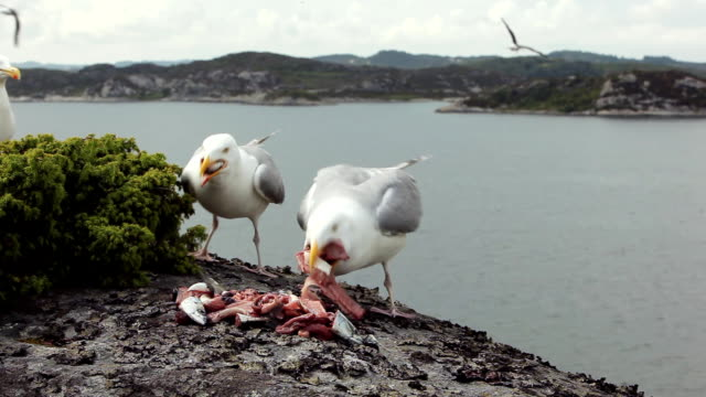 greedy seagulls eating fish gut - scavenging stock videos & royalty-free footage