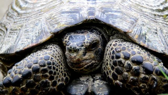 griechische landschildkröte - landschildkröte stock-videos und b-roll-filmmaterial