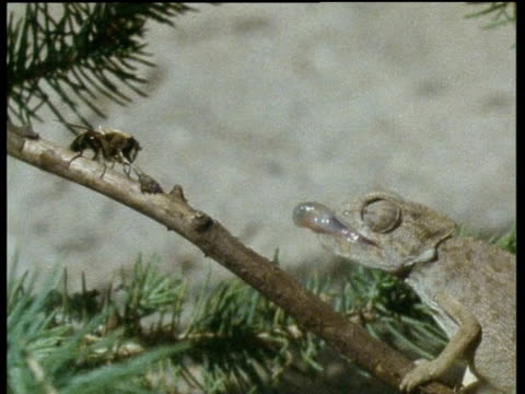 Green African Chameleon flicks out tongue in attempt to catch bee but fails and bee buzzes away, Africa