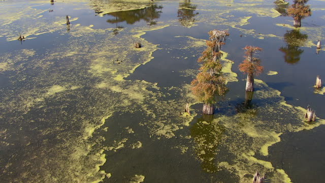 green algae floats on the surface of a swamp. - swamp stock videos & royalty-free footage