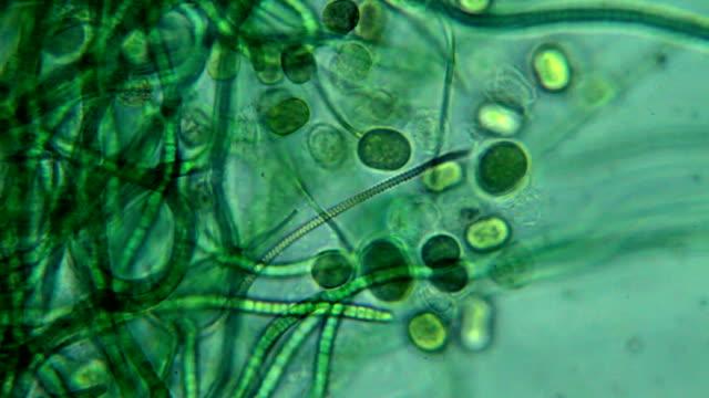 algae - microscopic view - algae stock videos & royalty-free footage