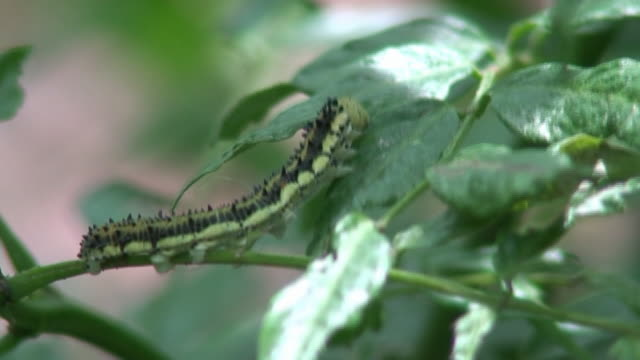 vídeos de stock e filmes b-roll de verde e preto lagarta - invertebrado