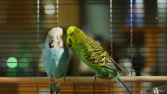 ms green and blue pet budgerigars court in cage - two animals stock videos & royalty-free footage