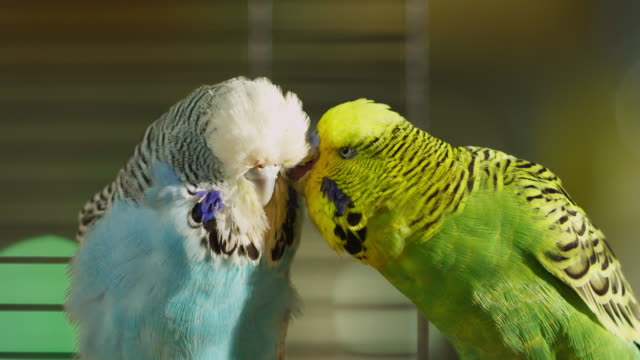 cu green and blue pet budgerigars court in cage - pets stock videos & royalty-free footage