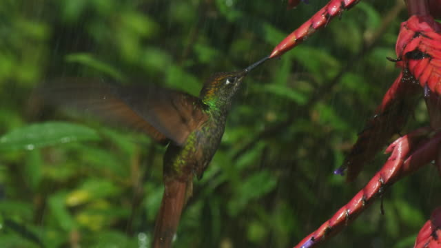ms green and gold hummingbird feeds on red flower spike with rain - hummingbird stock videos and b-roll footage