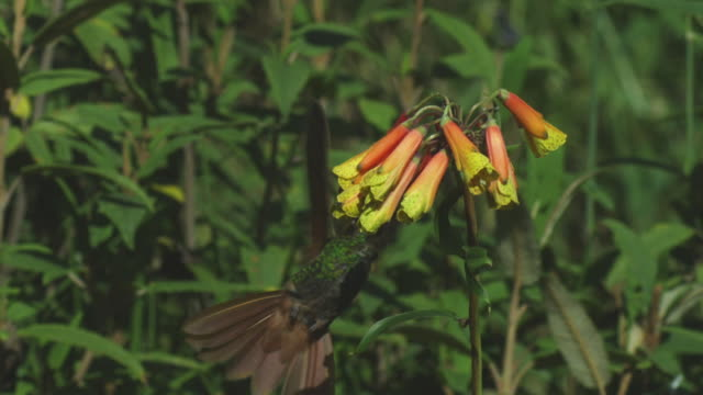 MS Green and Gold Hummingbird hovers and feeds from yellow flower cluster