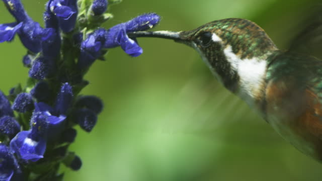 CU Green and White Hummingbird feeds on blue flower spike in profile and moving between flowers
