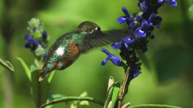 MS Green and White Hummingbird feeds on blue flower spike in profile then flies off