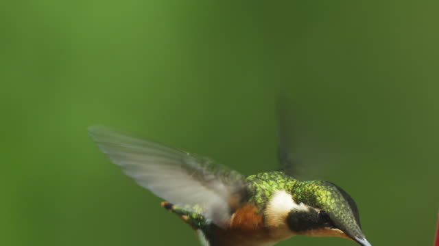 MS Green and White Hummingbird hovers with green background