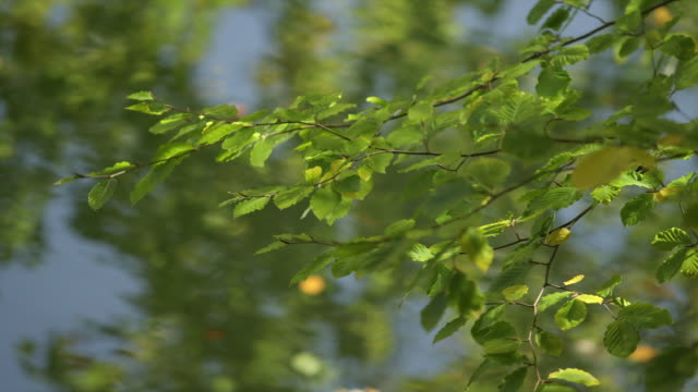 Green and yellow leaves on tree branch, sway in the breeze, water in the background