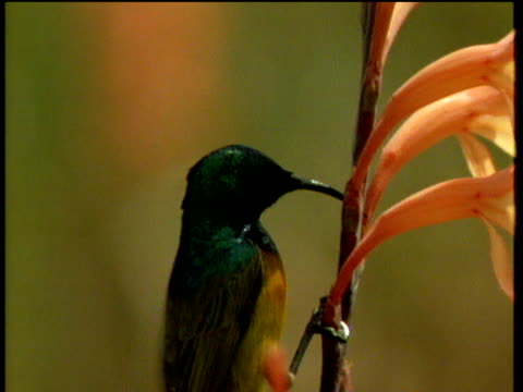 green and yellow male sunbird pierces pink watsonia flowers with beak, then flies off - maul stock-videos und b-roll-filmmaterial