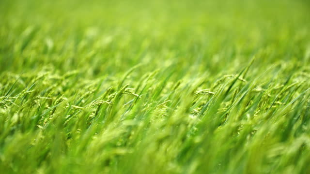 Green background of rice fields
