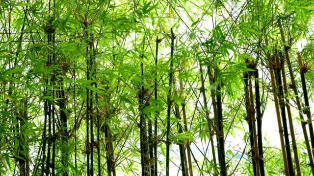 Green bamboo forest in the wind