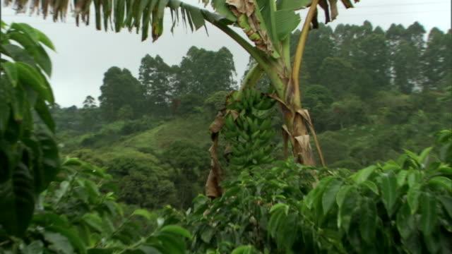 green bananas grow on a tree. - バナナ点の映像素材/bロール