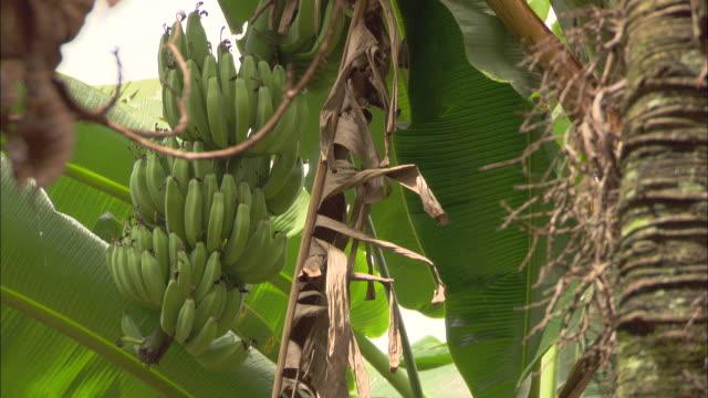 green bananas hang in bunches from a tree. - バナナ点の映像素材/bロール
