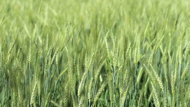 Green barley rice , nature footage background