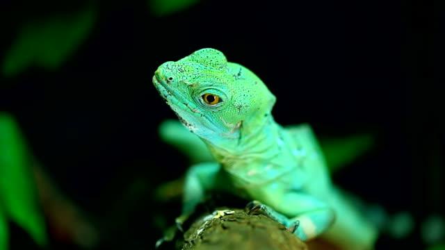 vídeos de stock e filmes b-roll de lagarto verde basilisco - réptil