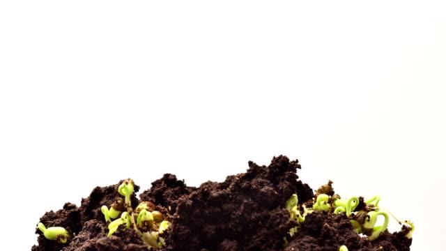 green bean growing in timelapse - green bean stock videos & royalty-free footage