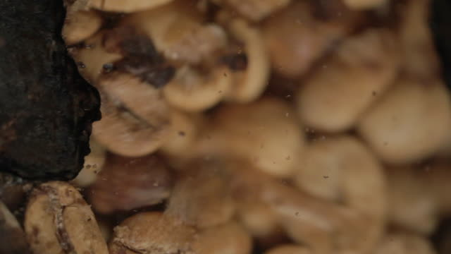 green beans of coffee being toasted close up - モカ点の映像素材/bロール