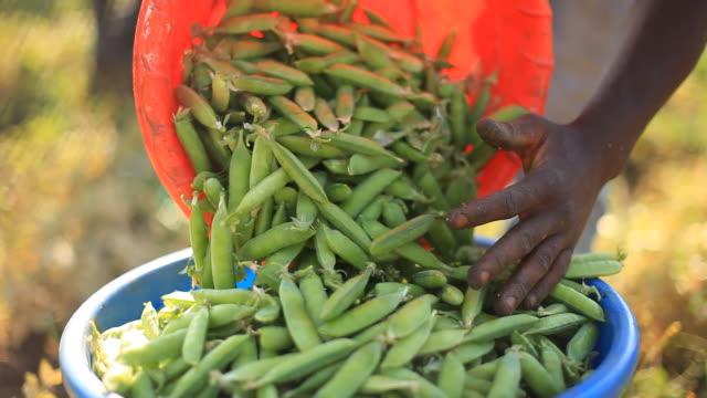 vídeos de stock e filmes b-roll de green beans poured into bucket - malávi
