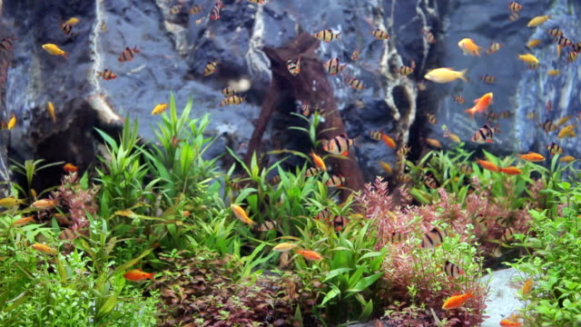 green beautiful planted tropical freshwater aquarium with fishes - aquarium stock videos & royalty-free footage