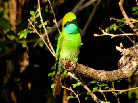 cu green bee-eater on branch, chirping, then flies off - birdsong stock videos & royalty-free footage