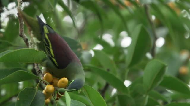 vídeos y material grabado en eventos de stock de a green bird eating fruits from a tree in mount halimun salak national park, indonesia - java