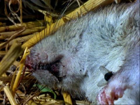 green bottle, cu flies on dead rat - decay stock videos & royalty-free footage