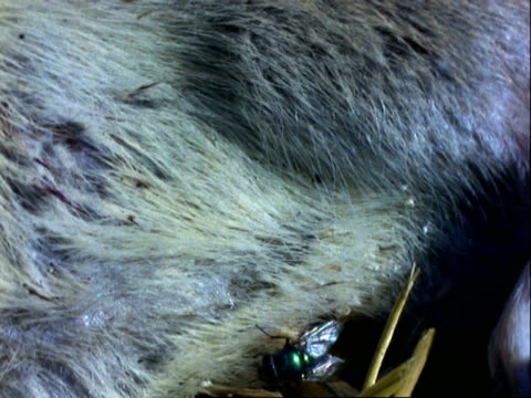 green bottle, cu flies on dead rat's body, pans left to maggots wriggling around - decay stock videos & royalty-free footage