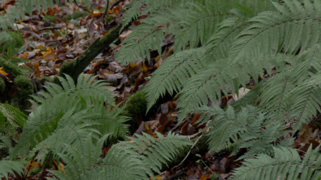 Green bracken and dead leaves in damp Scottish woodland