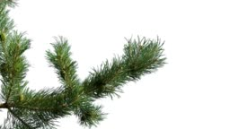 Green branch of pine tree isolated on white background screen