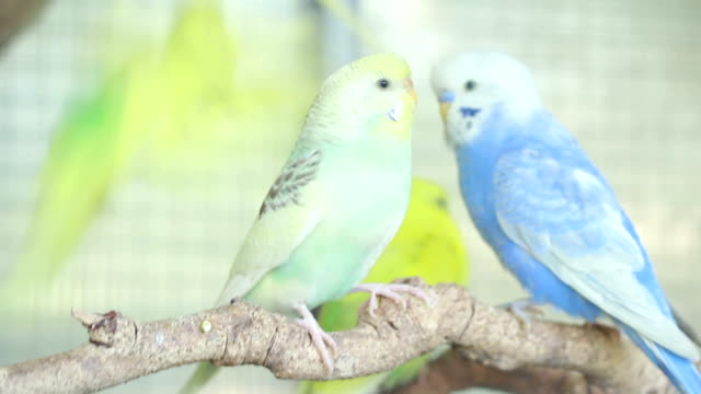 green budgie - budgerigar stock videos & royalty-free footage