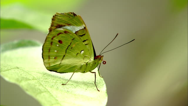 CU, SELECTIVE FOCUS, Green butterfly standing on leaf