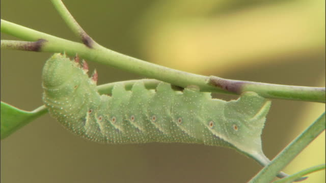 a green caterpillar clings to a slender stem. - caterpillar stock videos & royalty-free footage