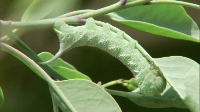 a green caterpillar curls itself along a leafy stem. - camouflage点の映像素材/bロール