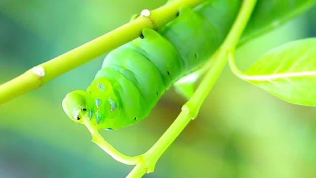 Green Caterpillar Eating